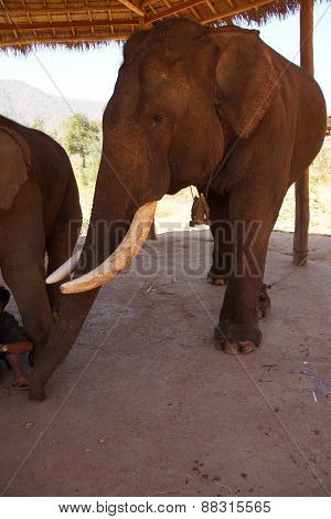 Old Male Elephant With Large Tusks