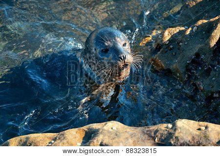 Seal swim in sea in San Diego beach.