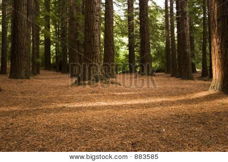 Redwood Forest 03