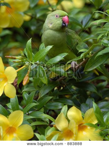 Green wild parrot in st. lucia outdoors poster