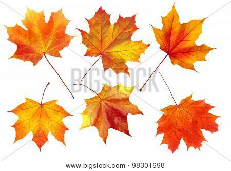 Colorful Autumn Maple Leaves Isolated On White
