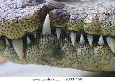Mouth And Teeth A Crocodile