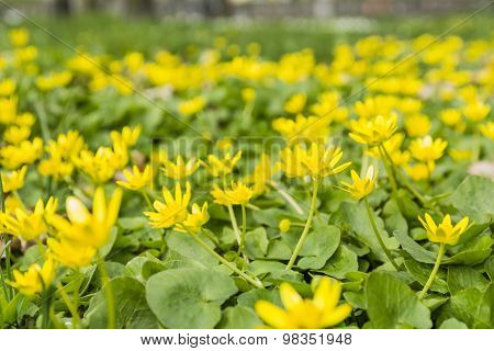 Lesser Celandine (ranunculus Ficaria, Ficaria Grandiflora Robert, Ficaria Verna Huds.)