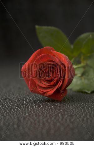 Wet Rose Series