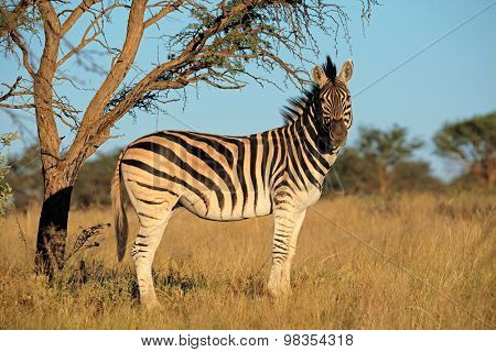 A plains (Burchells) Zebra (Equus burchelli) in natural habitat, South Africa