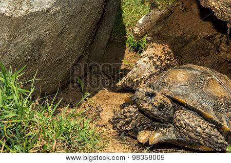 Asian Forest Tortoise