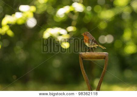 Little robin red breast bird sitting on a spade in the garden