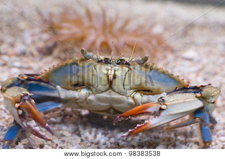 Atlantic Blue Crab Front