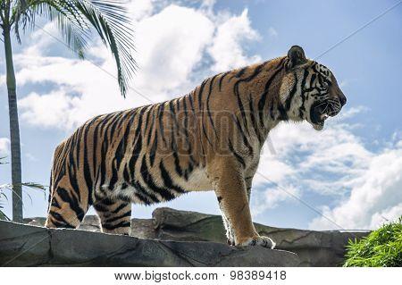 Huge Tiger Standing On A Rock