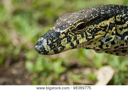 Head Of A Monitor Lizard