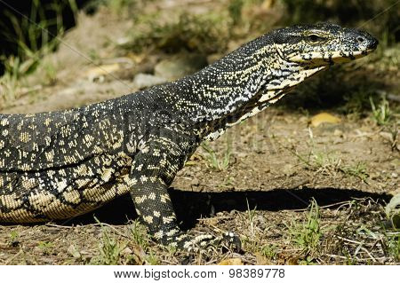 Beautiful Monitor Lizard