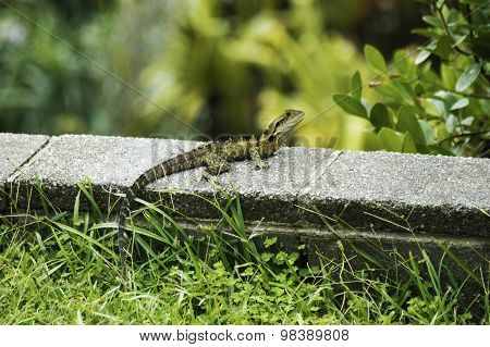 Small Lizard With Long Tail