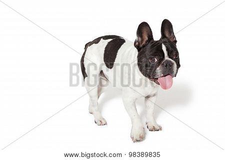 Cute French Bulldog In A Studio