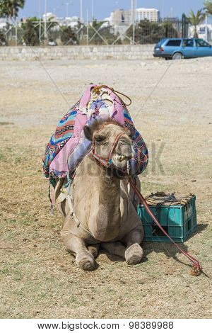 Camel Resting On The Ground