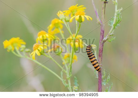 Yellow and black caterpillar on flowers
