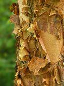 peeiling river birch bark close up detail poster