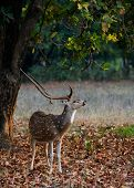 Male Axis or Spotted Deer (Axis axis) INDIA Kanha National Park poster