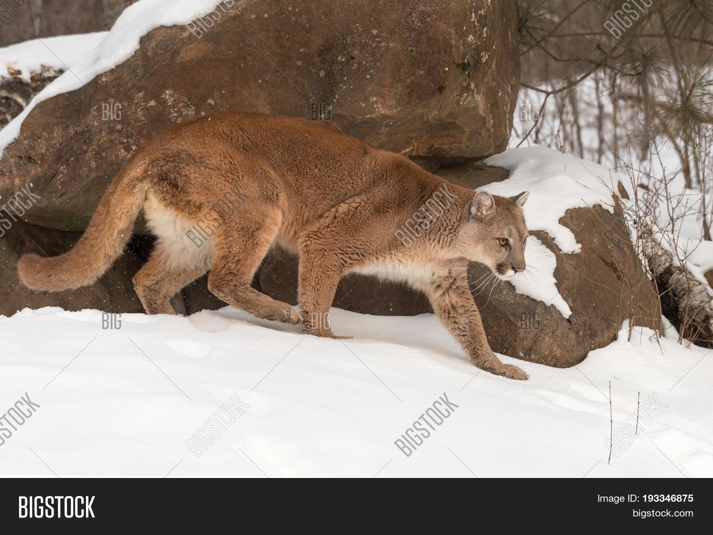 108bbe33e3b38 Adult Female Cougar (Puma concolor) Walks Right in Snow - captive animal