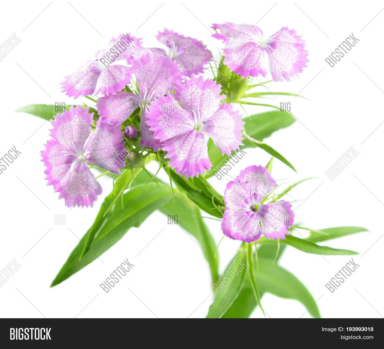 Pink Sweet William Image Photo Free Trial Bigstock