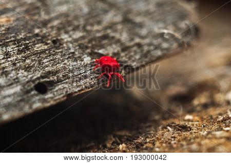 Red Velvet Mite Or Rainbug On The Wood.