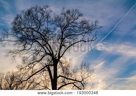 A tree with bare branches on the background of the cloudy sky with contrail