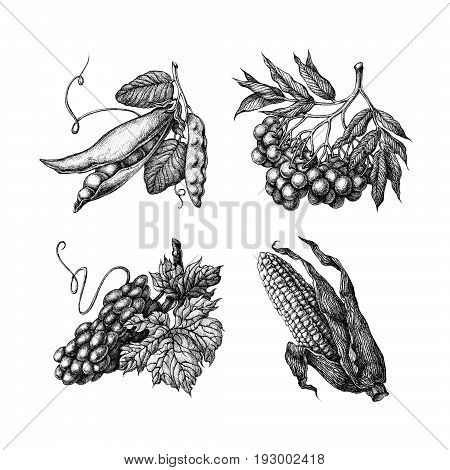 Set of fruits and vegetables: peas rowan grape corn. Hand drawn ink sketch on a white background