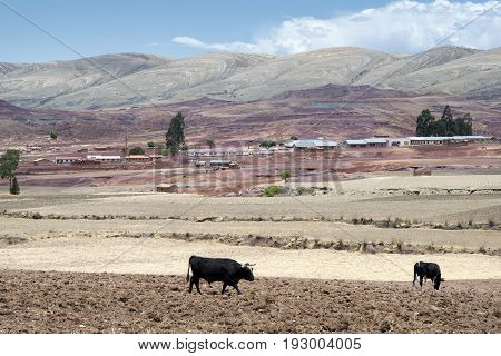Cows on fresh plowed land at the crater of Maragua`s dormant volcano Bolivia
