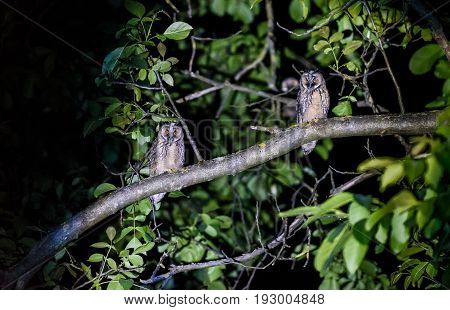 Two Short Or Long Eared Owls Sitting On A Branch.