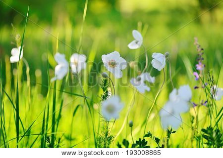 White Flowers Anemone (anemone Sylvestris) On The Field