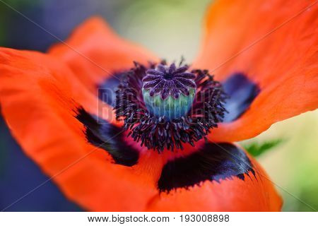 Closeup Blooming Red Poppy Flower. Stamen, Stigma, Filament And Anthers.