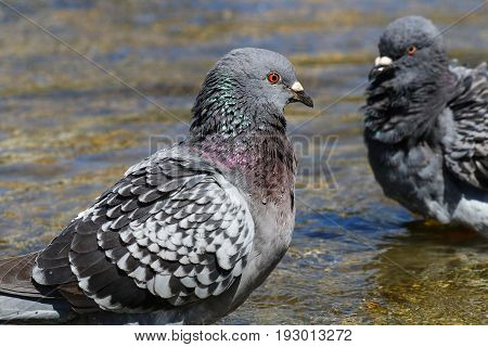 A pair of feral pigeons in shallow water