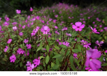 Impatiens are blooming Close up shot sharping only foreground and blur background Thailand