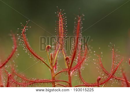 Insectivorous plant Drosera close up showing its sticky drops to capture insect. Green backgroundThailand
