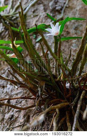 Dendrobium Draconis Rchb. F.