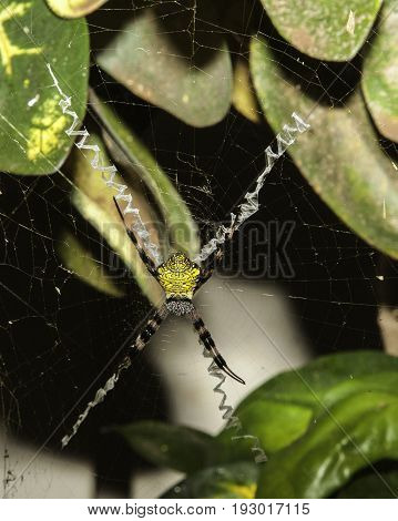 Colorful Orb Web Spider Resting In Web