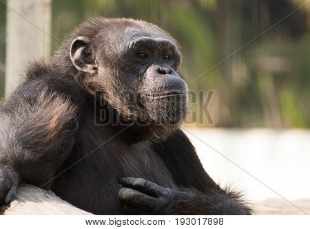 close up face  of a male chimpanzee