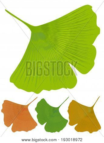 Isolated leaf of ginkgo biloba medicinal tree with anti-oxidant effect. Tree color variants - green yellow orange