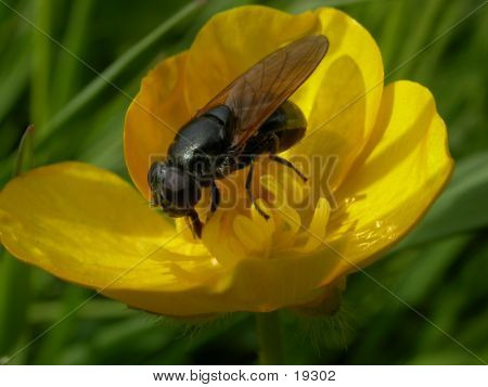 Hoverfly 05