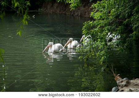 A flock of pelicans swims one by one across the water's edge of the pond