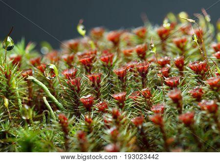 Macro Of Drops On Moss