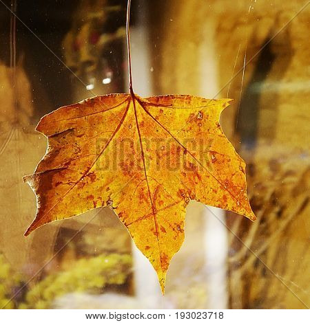 Yellowed maple leaf as the decoration on the window