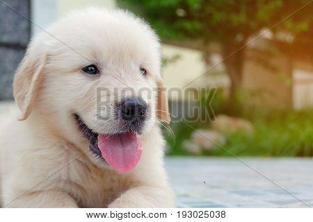 Portrait of golden retriever puppy lovely in garden