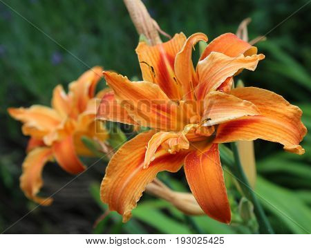 Double Orange Hemerocallis. The beautiful flower head of the the plant also known as a Day Lilly.