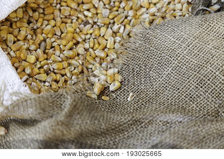 Detail Of Raw Corn In A Sack Of Esparto