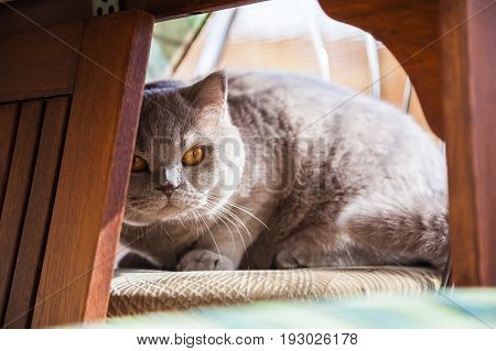 lilac british cat hiding under the table