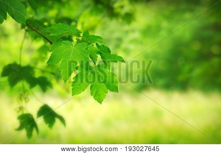 Background with Maple Tree Leaves .Green maple leaves isolated on blur background.