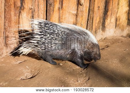 Long Quills neatly covering adult African Crested porcupine (Hystrix cristata)