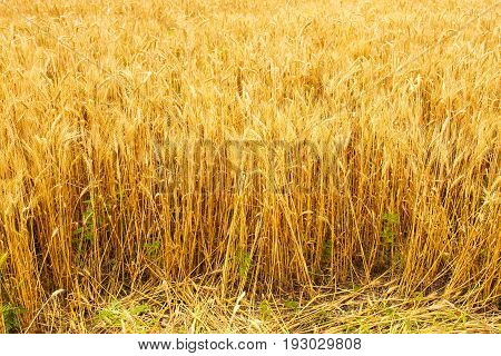 Poltava, Ukraine - Spikelets winter wheat (Triticum L.) on the private sector in the summer