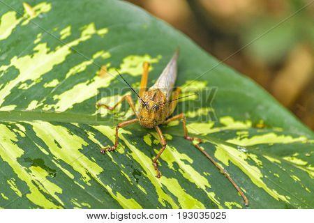 Locust Insect At Botanical Garden, Guayaquil, Ecuador