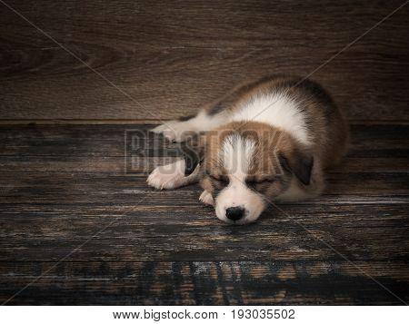 Pedigree dog sleeps on an old wooden floor. Puppy 1 month.